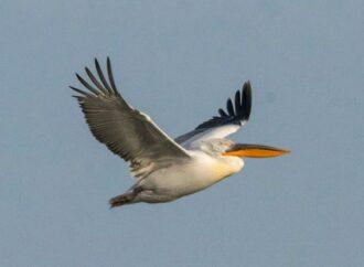В Одесскую область прилетели редкие пеликаны (фото)