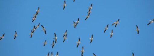 В нацпарк «Тузловские лиманы» вернулись розовые пеликаны