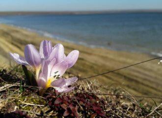 «Улыбка весны»: в ландшафтном парке под Одессой расцвели редкие первоцветы (фото)