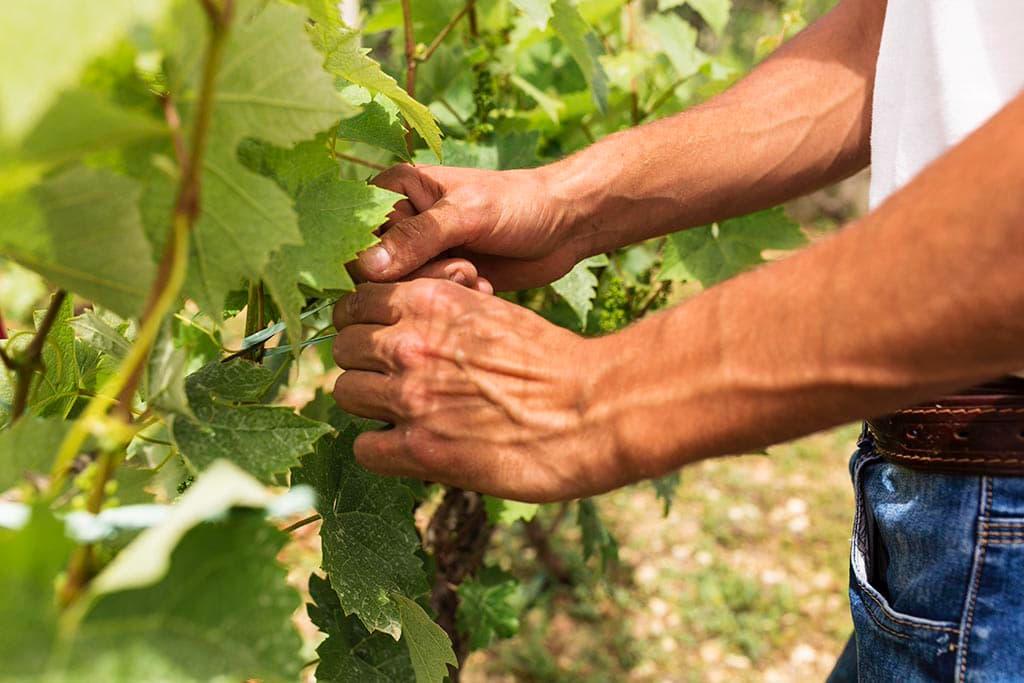 виноградник работа советы