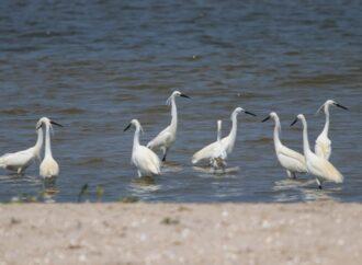 В нацпарк «Тузловские лиманы» прилетели белые цапли