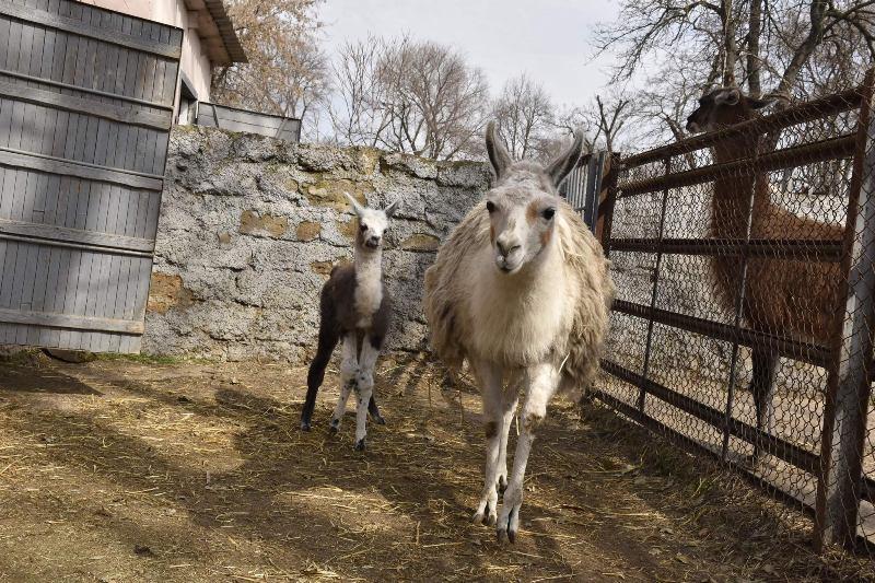 ламы, зоопарк