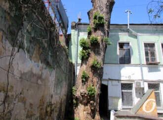 В Одессе зазеленел обезглавленный «пушкинский» тополь на Торговой (фото)