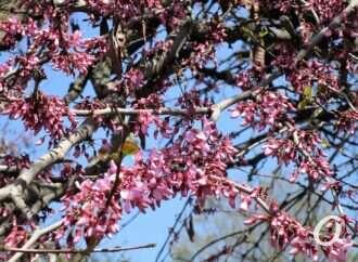 В одесском Горсаду зацвело иудино дерево (фото)