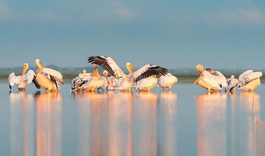 Пеликаны в «Тузловских лиманах»