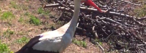 В Одесском зоопарке спасли подстреленного аиста – «глава семейства» вернулся в родное гнездо (видео)