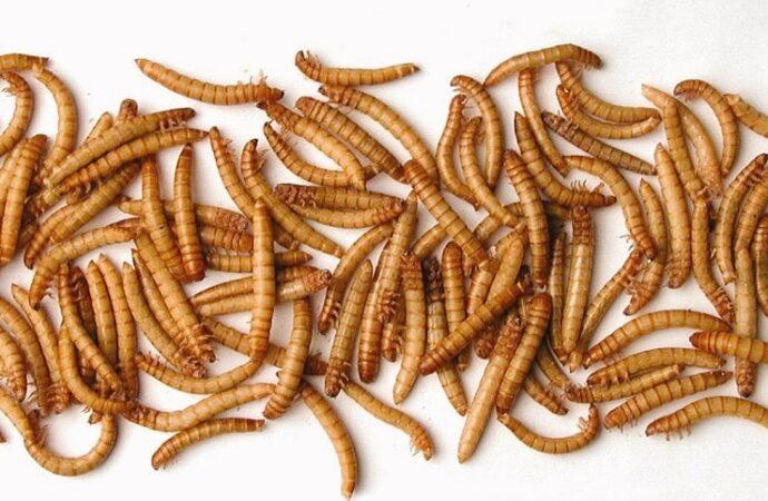 В ЕС разрешили есть сушеных червей