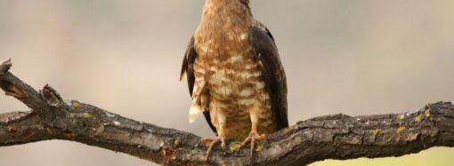Хищная птица столкнулась с одесской налоговой и теперь на реабилитации (фото)