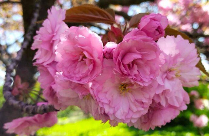 В Одесском ботаническом саду расцвели сакуры: яркие фото