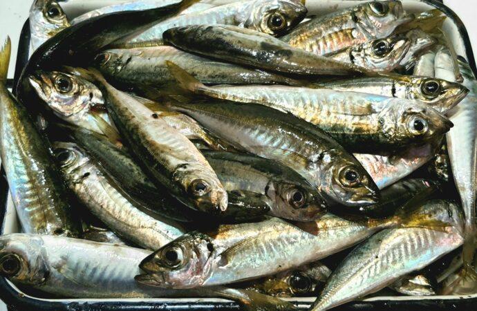 У одесских рыбаков праздник – пошла ставридка