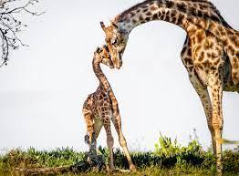 В Одесском зоопарке поселят жирафов