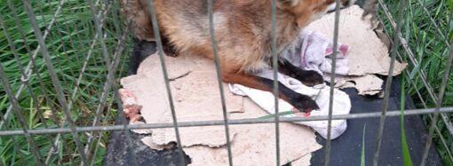 В Одесской области поймали лису, разорявшую курятники. Удивительная судьба животного