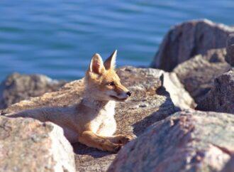 На пляже в пригороде Одессы поселились лисы (фото)