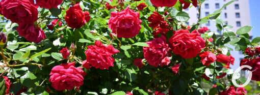 Одесситов радует «королева цветов» – яркий фоторепортаж из ботанического сада