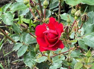 Одесса цветущая: озеленители меняют весенние цветы на летние (фото)