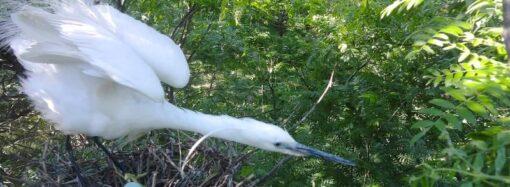 В нацпарке «Тузловские лиманы» сфотографировали гнезда «белых ангелов» (фото)