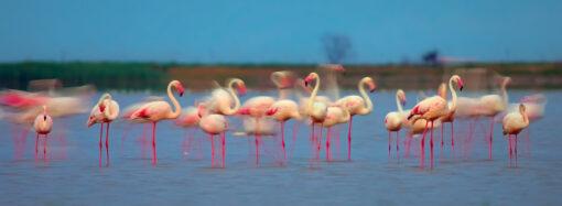 В дельте Дуная поселилась стая розовых фламинго (фоторепортаж)