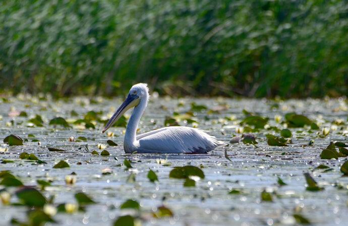 В Придунавье установили искусственные платформы для гнездования пеликанов (фото)
