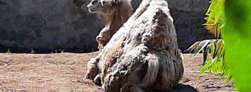 Посетителей Одесского зоопарка встревожила лежащая верблюдица – тревога оказалась ложной (фото)