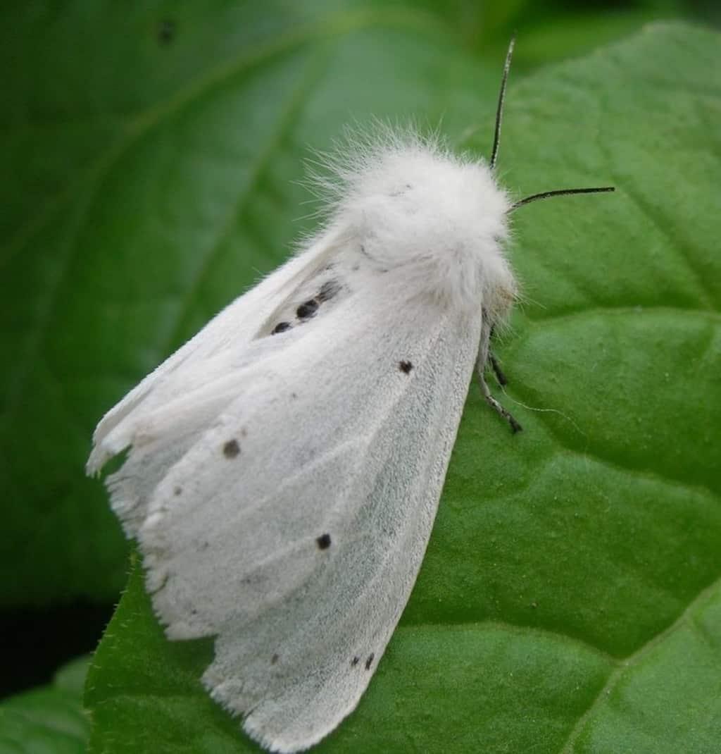 Американская белая бабочка-2