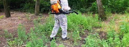 В Одессе начали борьбу с опасным сорняком