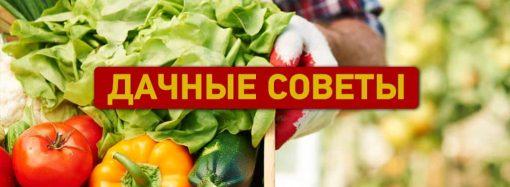Дачные советы: боремся с вредителями и выращиваем томаты