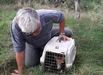 Спасенных в Одесском зоопарке лисиц выпустили в дикую природу (фото)