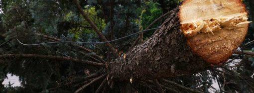 Экоцид по-одесски: возле здания облгосадминистрации сносят редкие голубые ели (видео)