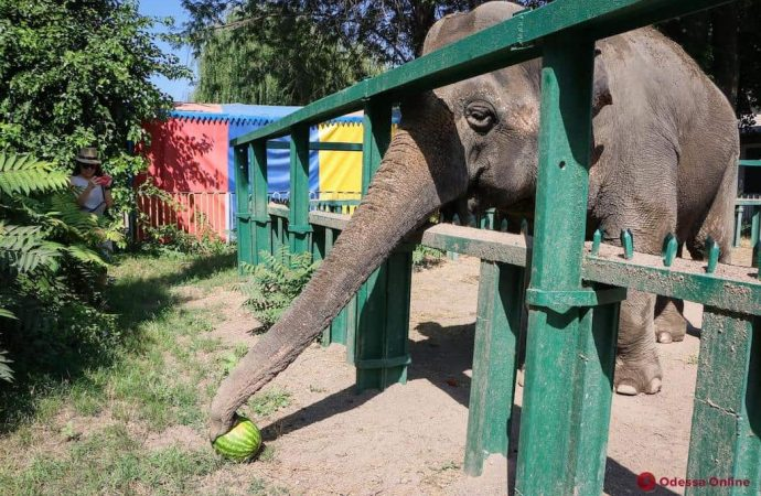 Одесский зоопарк зовет отпраздновать день рождения слонихи Венди