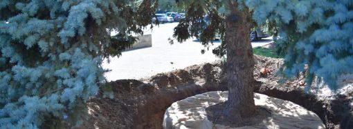 Голубые ели перед зданием ОГА еще порадуют одесситов – какая участь им уготована?