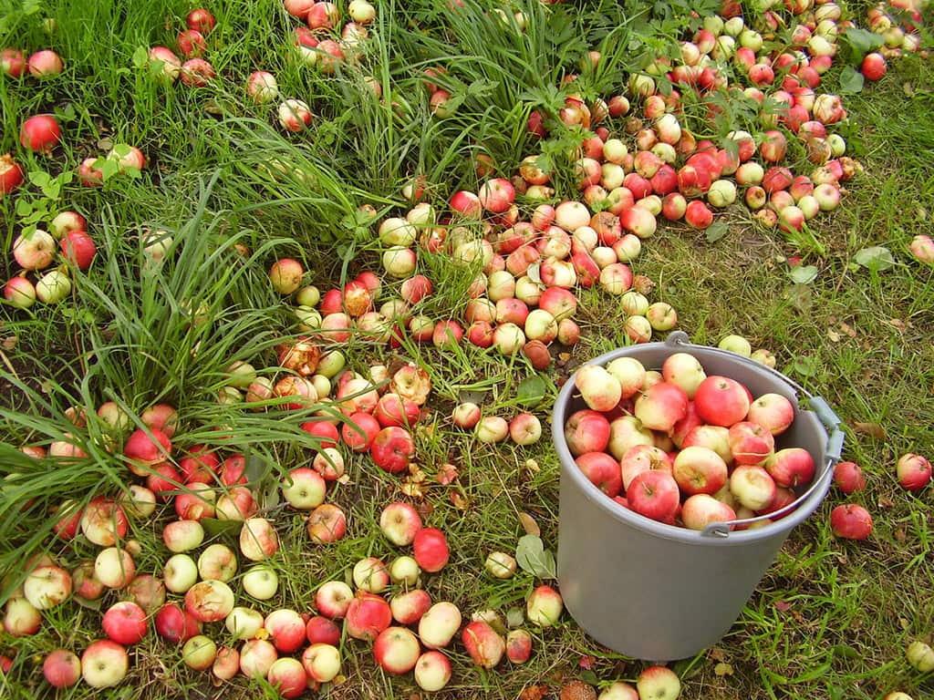 осыпаются яблоки