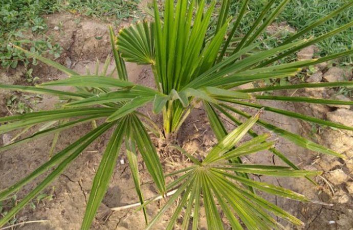 Владелец бара на Одесчине обещает шашлыки и самогон в обмен на украденную пальму