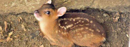 В Одесском зоопарке пополнение: свет увидел маленький лающий олень (фото)